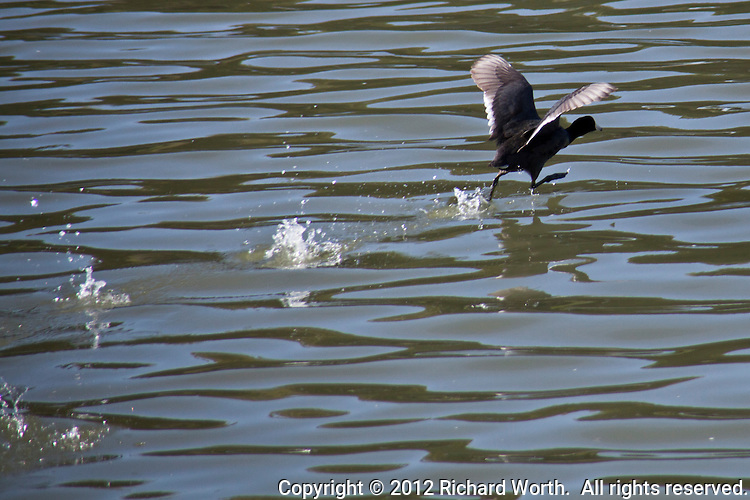 The winner in a race between two American Coots at the San Leandro Marina.