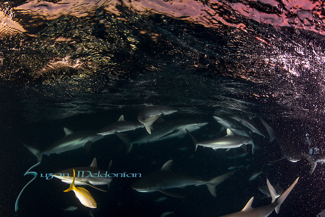 Carcharhinus falciformis, Cuba Underwater, feeding frenzy, Gardens of the Queen, Sharknado, Sunlit silky sharks at the surface