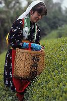 Asie/Japon/Nara: La récolte du thé vert
