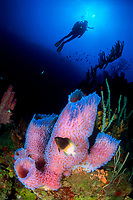 Bicolor damselfish, Stegastes partitus, Azure vase sponge, Callyspongia plicifera, and diver, Saba, Netherlands Antilles, Caribbean Sea, Atlantic, Atlantic