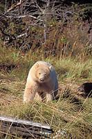spirit bear, kermode, black bear, Ursus americanus, mother with cub in the rainforest of the central British Columbia coast, Canada