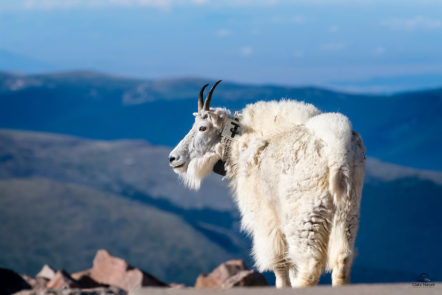 Early morning light on the top of Mount Evans.  This nanny Mountain Goat (Oreamnos americanus) seems content to take in the views and soak up the sun.  Mount Evans, Colorado.