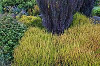 Berberis thunbergii 'Helmond Pillar' upright shrub with purple foliage above Calluna vulgaris 'Firefly', (Scottish Heather); Seattle Washington, Stacie Crooks design