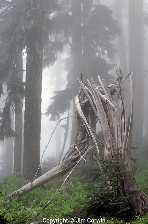 Shattered tree trunk in fog lightning strike sunrise  Mount Rainier National Park Washington State USA
