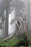 Shattered tree trunk in fog lightning strike sunrise  Mount Rainier National Park Washington State USA