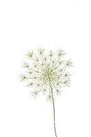 30099-00620 Queen Anne's Lace (Daucus carota) (high key white background) Marion Co. IL