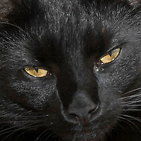 Black Safaris Cat Headshot
