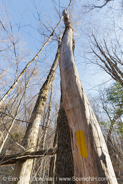 Yellow trail blaze painted on a dead tree along the Mt Tecumseh Trail in Waterville Valley, New Hampshire. Per trail maintenance guidelines, when blazing a trail, painting blazes on dead trees should be avoided. Reason for this is the dead tree can fall over making the blaze obscure.