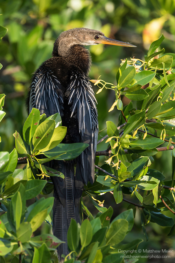 Ding Darling National Wildlife Refuge, Sanibel Island, Florida; an Anhinga bird standing on the branch of a mangrove tree, drying its wings in early morning sunlight