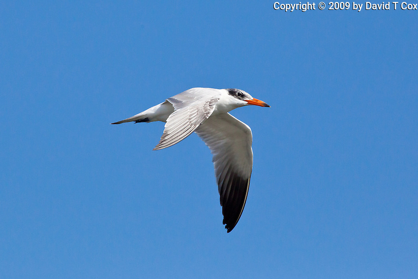 Caspian Tern, Guerrero Negro, Baja Sur, Mexico