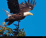 Bald Eagle Takeoff, Silver Salmon Creek, Lake Clark National Park, Alaska