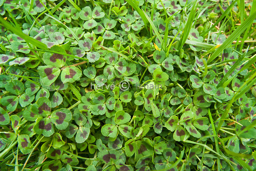 France, Alpes-Maritimes (06), luzerne d'Arabie (Medicago arabica) // Medicago arabica (spotted medick, spotted burclover, heart clover) in the wild (south of France)