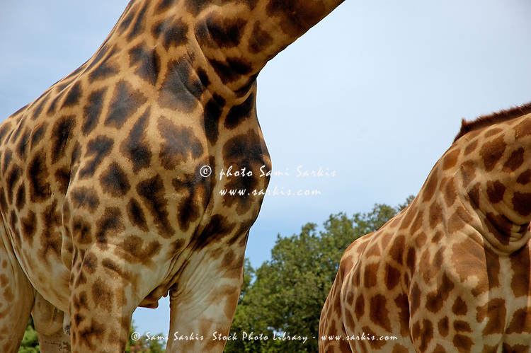 Natural pattern of the skin of two giraffes (Giraffa camelopardalis).
