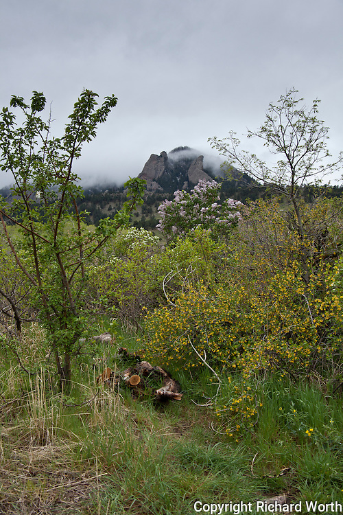 Vegetation along Bear Canyon Trail includes a cluster of violet lilacs with Bear Peak in the background.