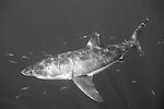Guadalupe Island, Baja California, Mexico; a large, adult male Great White Shark (Carcharodon carcharias) swims amongst a school of Scad Mackerel fish in the blue water