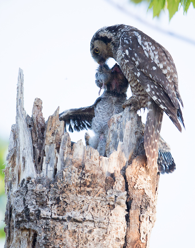 A female Northern Hawk Owl delivers a vole to her young waiting inside of a nest cavity.