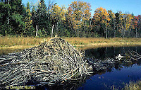 PO06-013a   Beaver - lodge in dammed pond, Maine - Castor canadensis