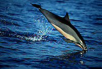 A leaping spinner dolphin, Stenella longirostris, noses back into its realm. Hawaii.