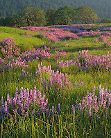 Redwood National Park, CA <br /> Evening light on a hillside meadow in the Bald Hills with riverbank lupine (Lupinus rivularis) and Oregon White Oak (Quercus garryana) in the distance