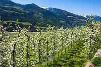 Italy, South Tyrol (Trentino - Alto Adige), Val Venosta, near Castelbello-Ciardes: Apple blossom and Ortler Alps | Italien, Suedtirol (Trentino - Alto Adige), Vinschgau, bei Kastelbell-Tschars: Apfelbluete, und Auslaeufer der Ortler-Alpen