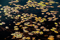 Pattern of lily pads in wetland<br />