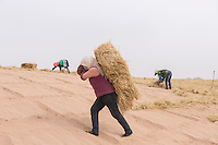 A Chinese afforestation worker carries a straw stack in the desert areas of Minqin county in Gansu province, October 2016. Locals poke straw partway into the sand, forming a pattern of small squares. The grid like network of straw fences break the force of the wind at ground level, stopping dune movement by confining the sand within the squares of the grid. Minqin county is located in between the Tengger Desert and the Badain Jaran Desert.