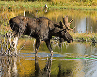 Bull Moose in water at Grand Tetons National Park, Wyoming