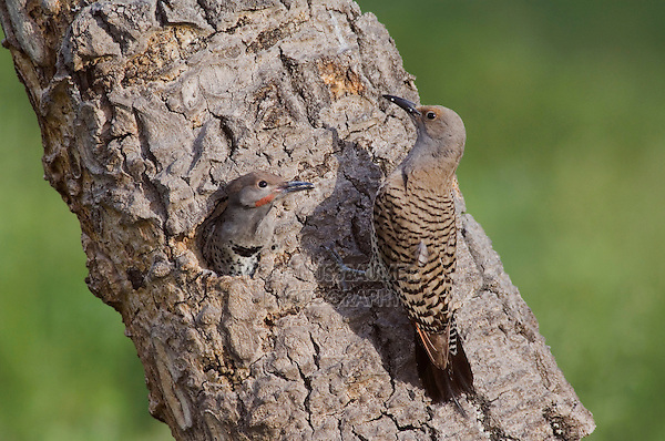 Northern Flicker,Colaptes auratus,Red-shafted form,female feeding young in nesting cavity,Rocky Mountain National Park, Colorado, USA
