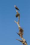 Southern Caracara (Caracara plancus), Ibera Provincial Reserve, Ibera Wetlands, Argentina