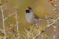 Black-chinned Sparrow (Spizella atrogularis), male singing, Chisos Mountains, Big Bend National Park, Chihuahuan Desert, West Texas, USA