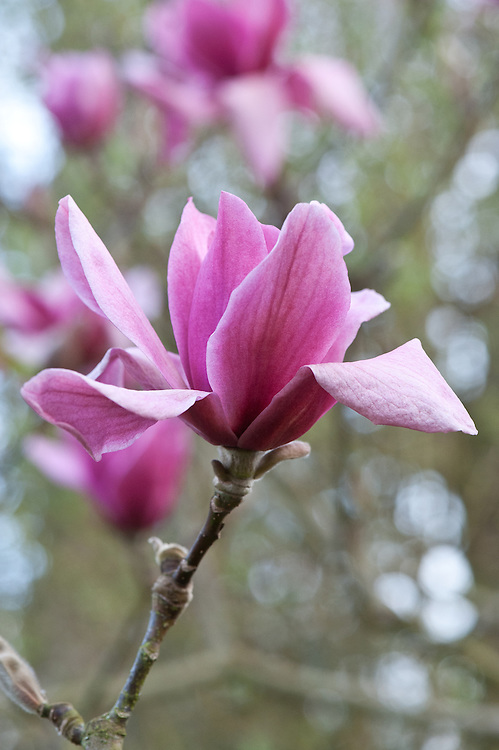 Magnolia 'Vulcan', early April.