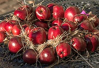 Italy, Alto Adige-Trentino (South Tyrol), village Montagna: Red Delicious apples - decoration   Italien, Suedtirol (Alto Adige-Trentino), Montan: Red Delicious Aepfel - Dekoration