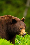 A black bear sow keeps a close eye on her cubs in the Callahan Valley area of British Columbia, Canada, on June 24 2011. Photo by Gus Curtis.