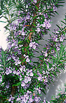 ADD2W3 Rosemary plant in flower