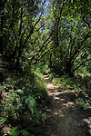 Track through the forest,Laura silva trees in the forest, La Gomera, Canary Islands, Spain