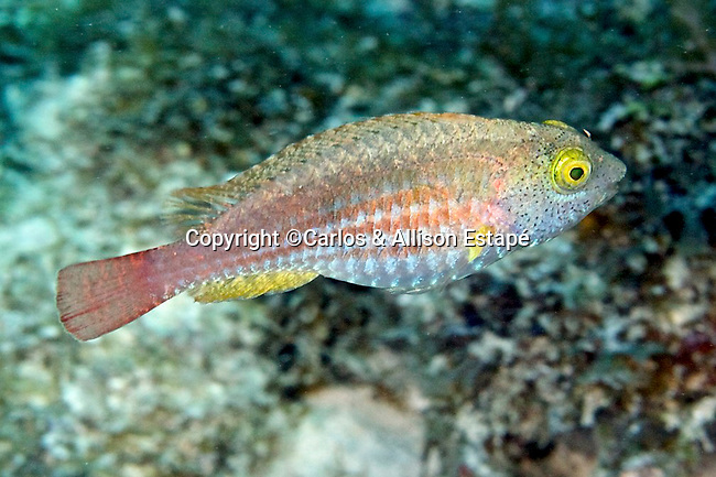 Sparisoma atomarium, Greenblotch parrotfish, Florida Keys