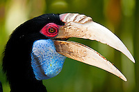 The Wreathed Hornbill (Rhyticeros undulatus), also known as the Bar-pouched Wreathed Hornbill, is a species of hornbill found in forests from far north-eastern India and Bhutan, east and south through mainland south-east Asia and the Greater Sundas, except Sulawesi. It is 75-100 cm (30-40 in) long. Males weigh from 1.8 kg (4 lbs) to 3.65 kg (8 lbs), females weigh from 1.36 kg (3 lbs) to 2.7 kg (6 lbs).