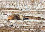 Bobcat waiting for prairie dog to emerge from burrow