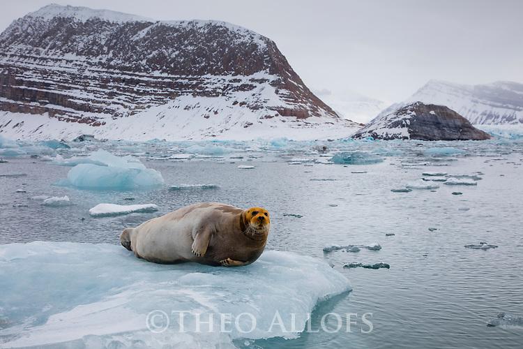 Norway, Svalbard, bearded seal on ice floe, Erignathus barbatus