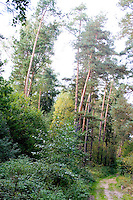 A stand of trees and road through the Polish National Forest. Zawady Central Poland