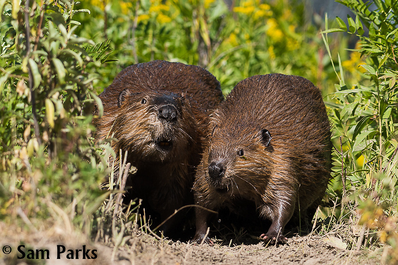 Beaver adult and juvenile on trail. Grand Teton National Park, Wyoming.