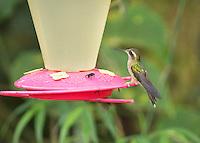 Speckled hummingbird, <br /> Adelomyia melanogenys, perched on a feeder at Refugio Paz de las Aves, Ecuador