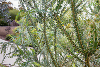 Acacia cultriformis in California summer-dry garden with Australian plants; design Jo O'Connell