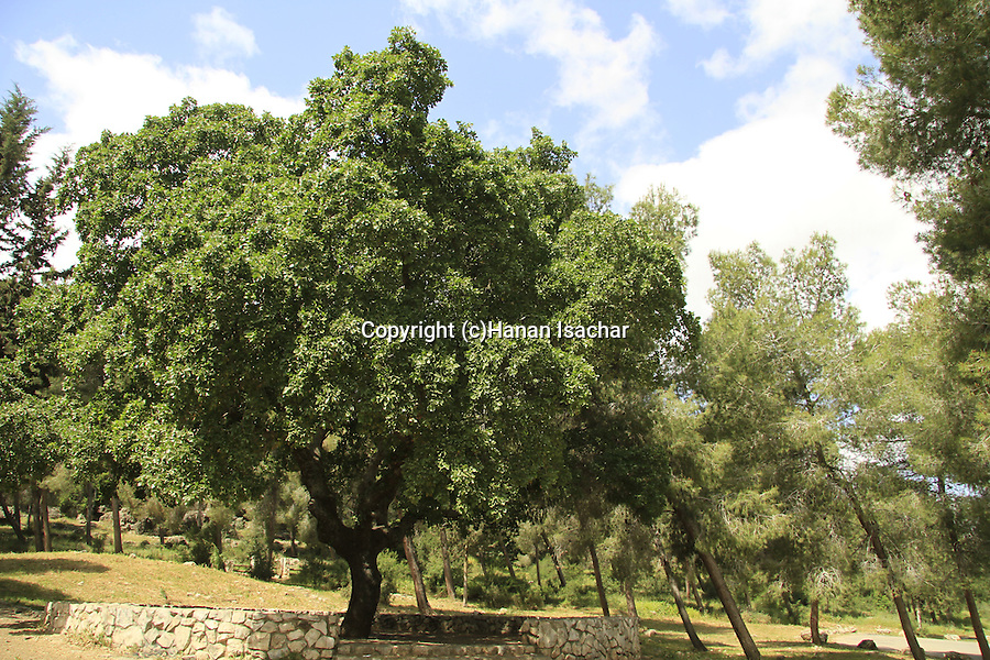 Israel, Lower Galilee, Oak tree in Bet Keshet forest