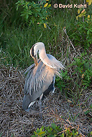 0829-0917  Great Blue Heron Preening (Grooming) Itself While Resting One Leg, Ardea herodias © David Kuhn/Dwight Kuhn Photography