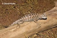 0209-1002  Eastern Fence Lizard (Fence Swift), Sceloporus undulatus  © David Kuhn/Dwight Kuhn Photography.
