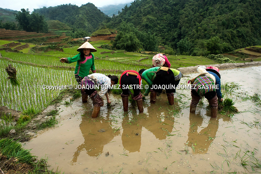 Women work in rice fields in the Sa Pa area of northern Vietnam. Rice is one of the products most cultivated in the country and in rural areas was the traditional way of life.<br /> SA PA- VIETNAM