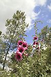 Israel, Lower Galilee, Alcea setosa flowers in Bet Keshet forest