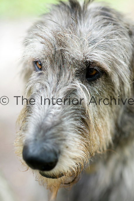 A portrait of Dune the Irish wolfhound