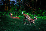 JimMendenhallPhotos.com 2013 July 16, 2013 twin fawns
